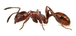 Fire Ants Control